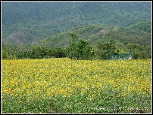 487小黃花.jpg