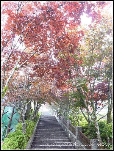 29-1紫葉槭.jpg