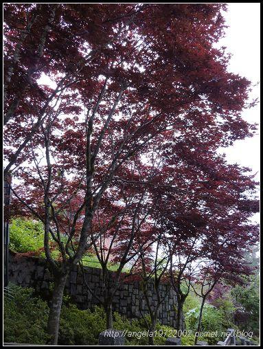 29兩旁的紫葉槭.jpg