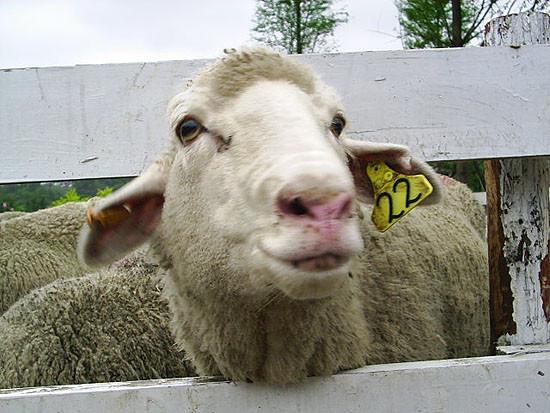 羊羊大頭照