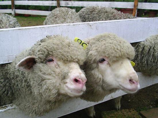 小羊羊二人組