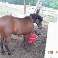 比較大隻的馬