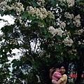 那天住石門福華.飯店裡面就有很多銅花樹