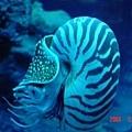 鸚鵡螺...柔柔滿喜歡盯著看牠漂來漂去