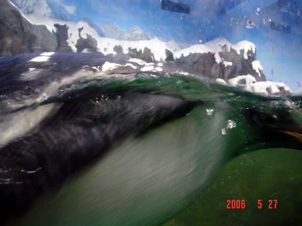 前面這坨東西是正在游泳的企鵝