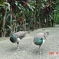 完全不怕人到一個誇張的動物園孔雀