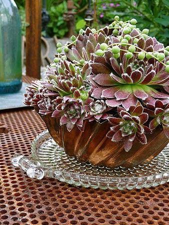 Sempervivum