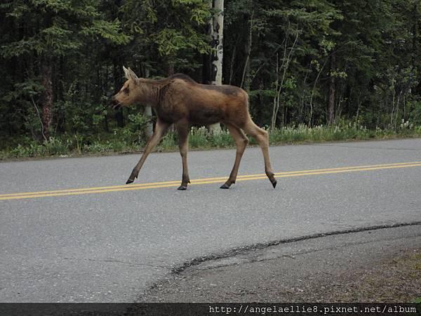 Moose in Denali NP
