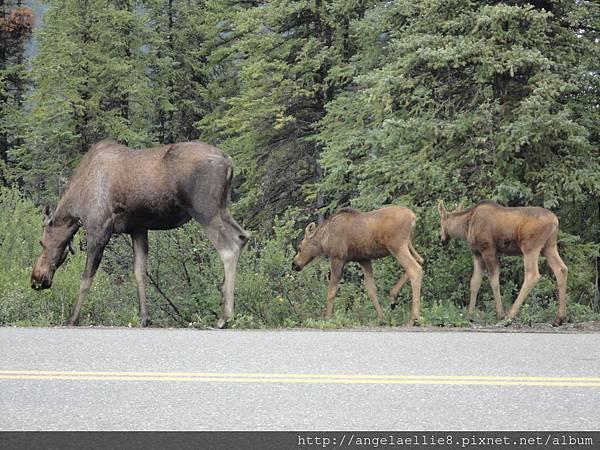 Moose Family in Denali NP