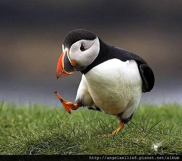 puffin 海鸚.jpg