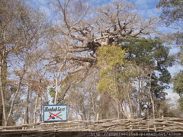 sacred baobab