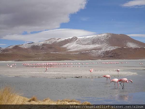 Laguna flamingo