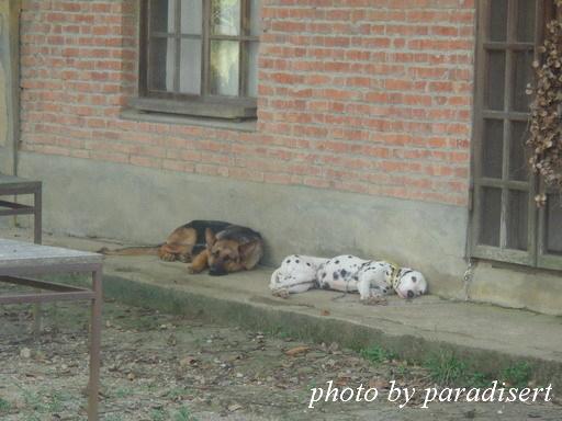 炎熱的午後,慵懶的狗兒