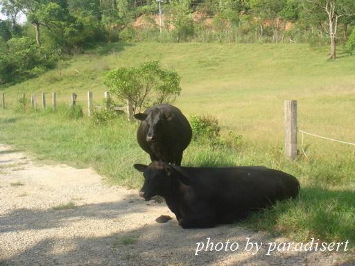 連牛也是懶洋洋的