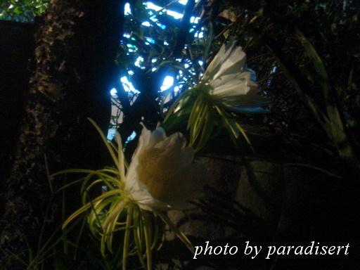 晚上才會大放異彩的火龍果花
