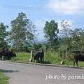 清晨,三隻牛很悠閒地吃著草