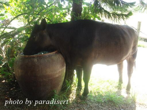 吃飽的牛,跑到我旁邊的水缸喝水