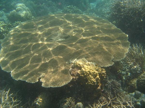巨大桌面珊瑚