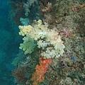 繽紛軟珊瑚