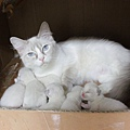 Summer Dew's litter 1028 2013A.jpg