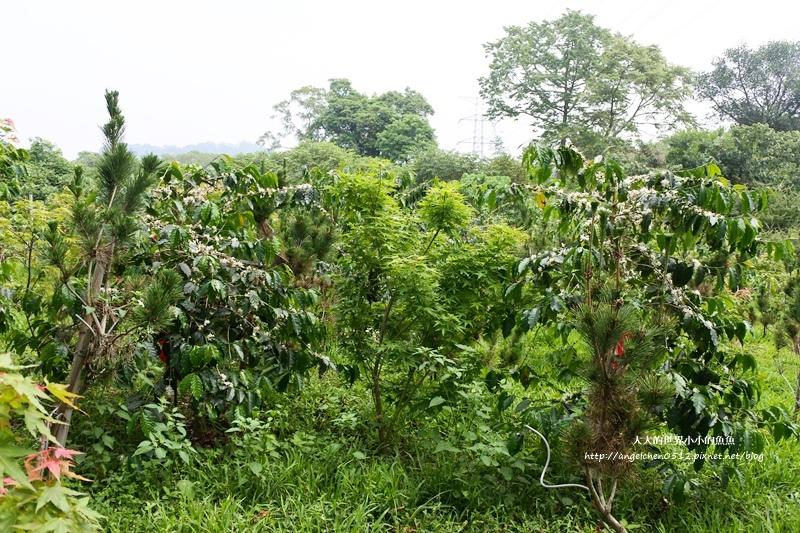 雲林景點 古坑景點 谷泉咖啡莊園的王建民  台灣咖啡的歷史  古坑咖啡深度導覽5
