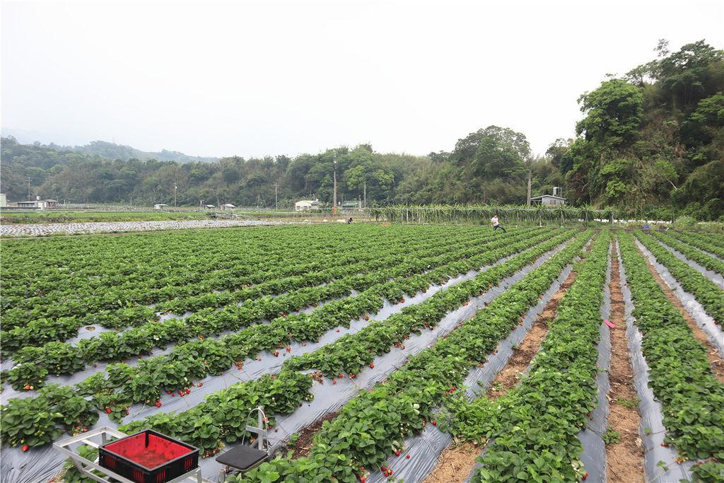 苗栗莓樂地草莓園苗栗 大湖草莓06.jpg