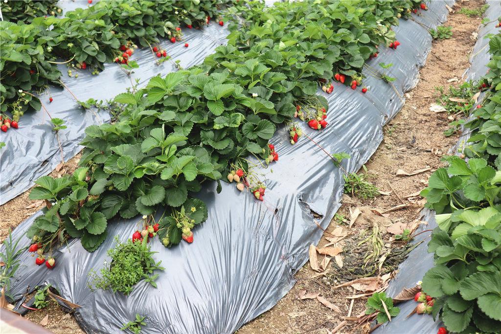 苗栗莓樂地草莓園苗栗 大湖草莓07.jpg