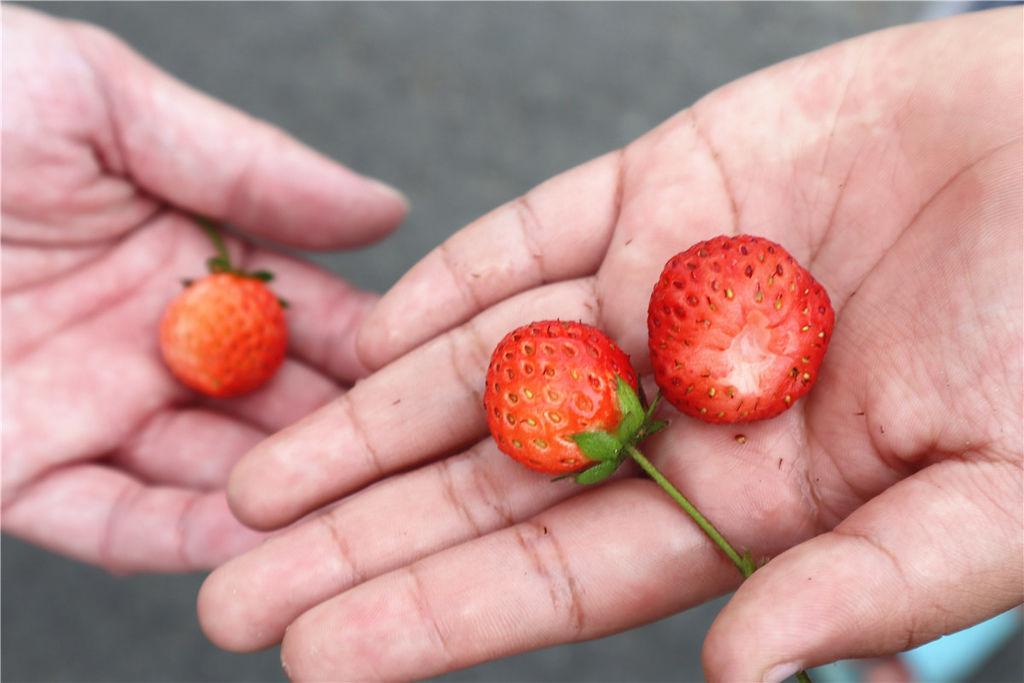 苗栗莓樂地草莓園苗栗 大湖草莓08.jpg
