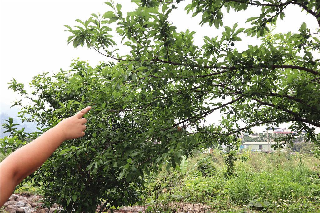 苗栗莓樂地草莓園苗栗 大湖草莓63.jpg