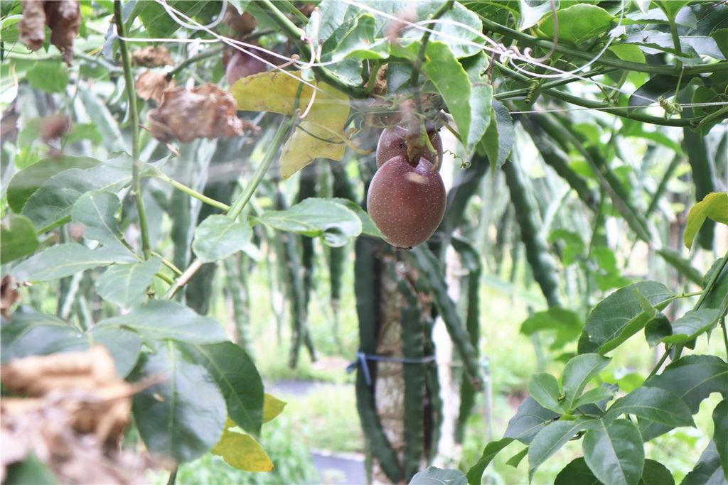 苗栗莓樂地草莓園苗栗 大湖草莓75.jpg