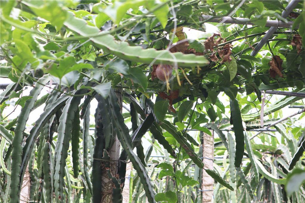 苗栗莓樂地草莓園苗栗 大湖草莓76.jpg