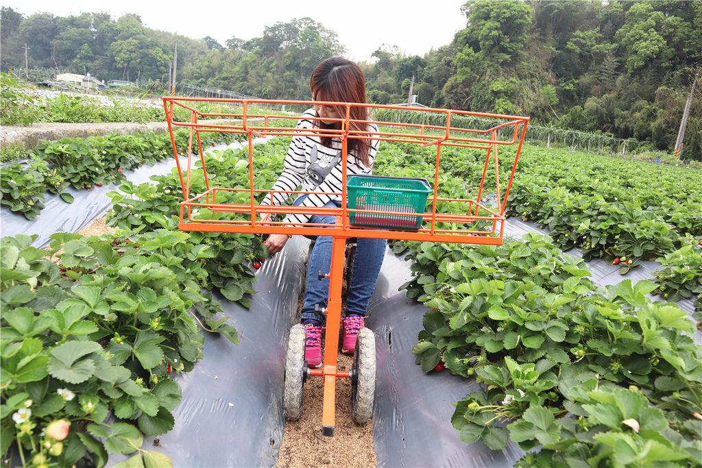 苗栗莓樂地草莓園苗栗 大湖草莓29