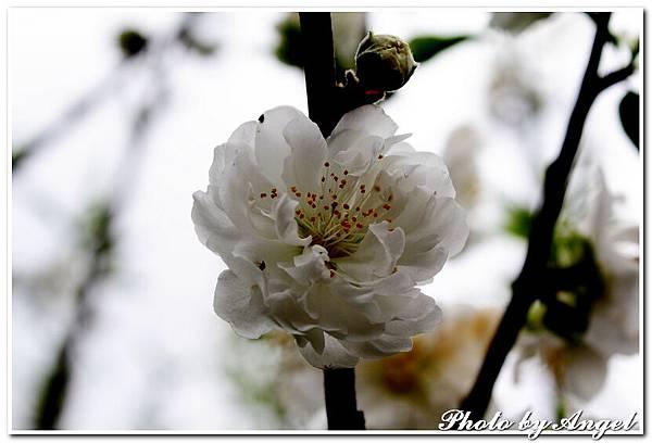 20110305 木珊杏花林_014.jpg