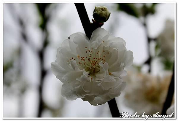 20110305 木珊杏花林_012.jpg