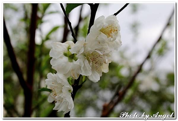 20110305 木珊杏花林_015.jpg