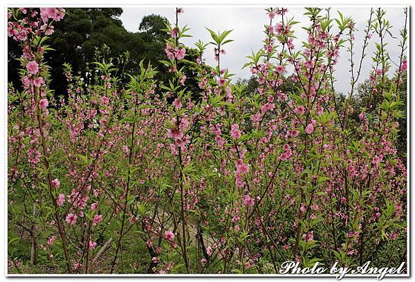 20110305 木珊杏花林_040.jpg