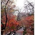 山上的楓葉果然比較早紅...
