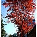 今天的楓葉又更紅了~