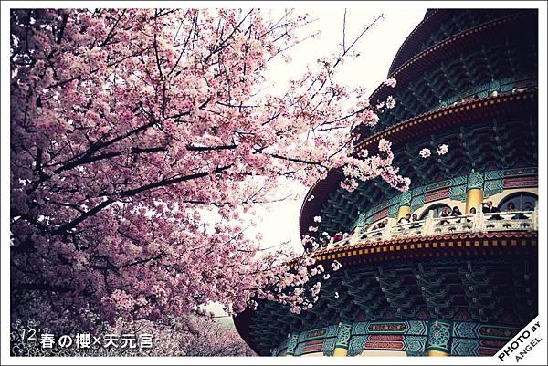櫻花x天元宮