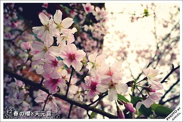 第一次近看櫻花