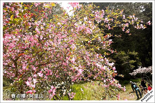 不一樣的桃紅色櫻花.jpg