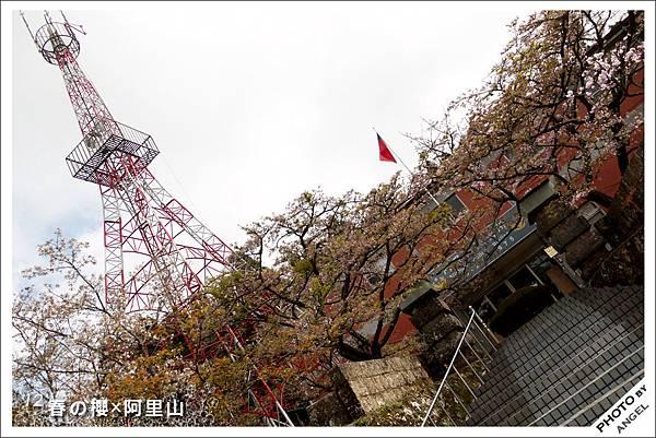 阿里山派出所前的櫻花稀疏到讓我好想哭.jpg