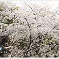 韓國的櫻花屬於白色品種
