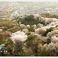 意外的還能看到這麼大片櫻花...值得了
