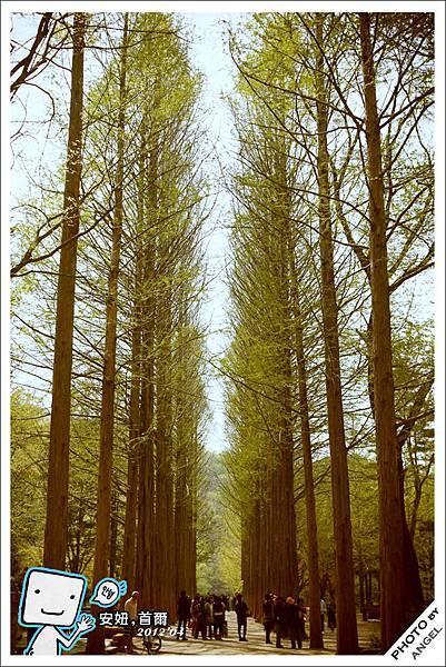 南怡島最紅的水杉路