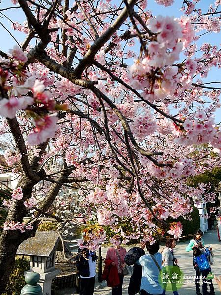 完全沒有預期會看到櫻花,太興奮了!.jpg