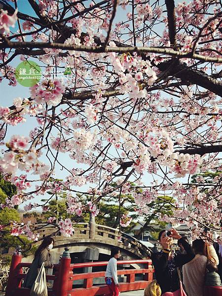 八幡宮櫻花-2.jpg