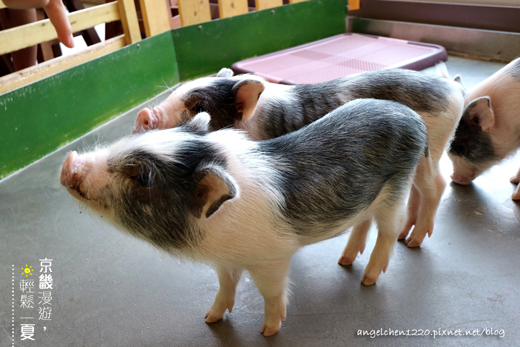 可愛的小豬.jpg