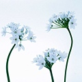 花朵 (43)