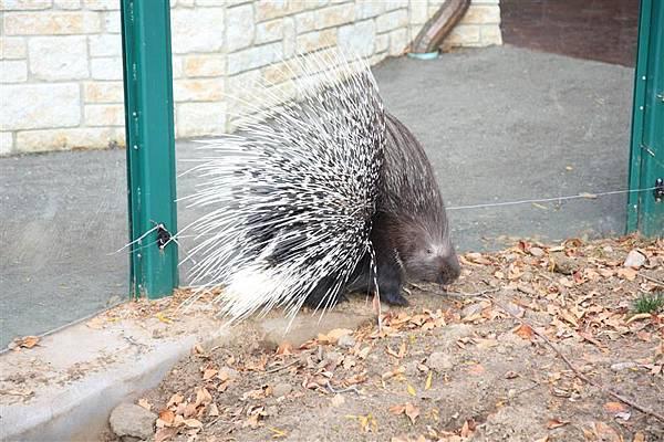 Henry Vilas Park Zoo_06看到我們就受刺激的刺蝟.JPG